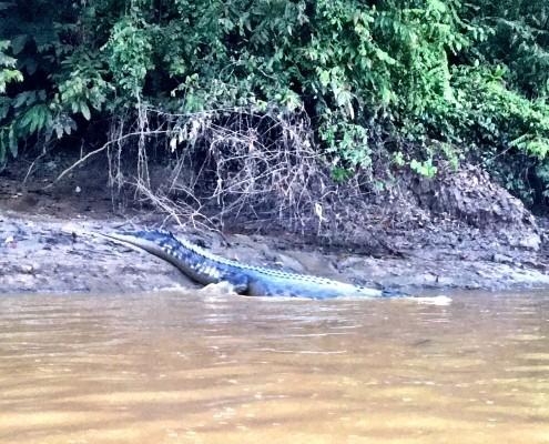El primer cocodrilo de la mañana de casi 3 metros durante nuestra excursión por el el Rio Kinabatangan