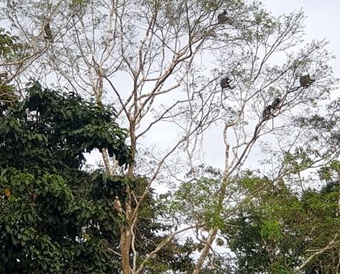 Familia de Macacos en el Río Kinabatangan, Borneo Malasia