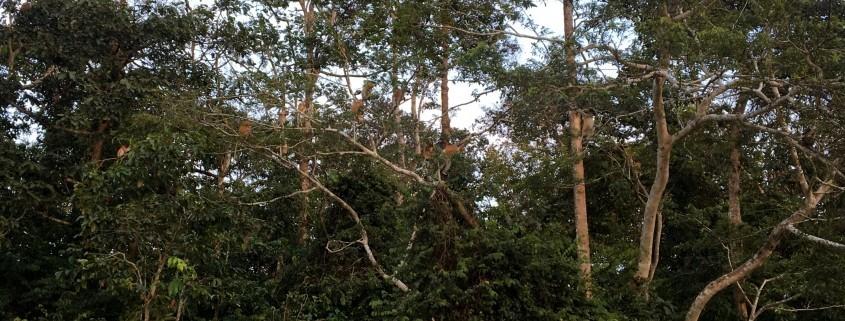 Familia de Monos Narigudos en el Río Kinabatangan en Borneo