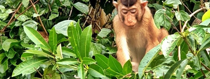 Foto de Macaco de Cola de cerdo-rio en el Río Kinabatangan, Borneo Malasia