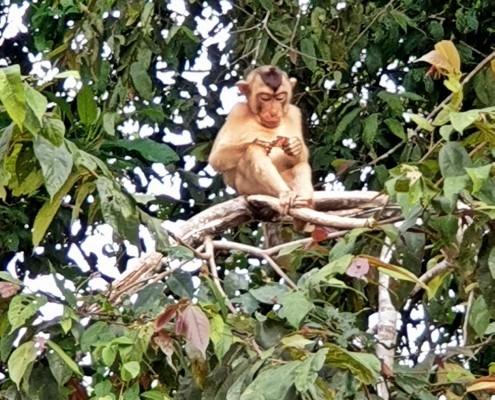Macaco de Cola de cerdo-rio en el Río Kinabatangan, Borneo Malasia