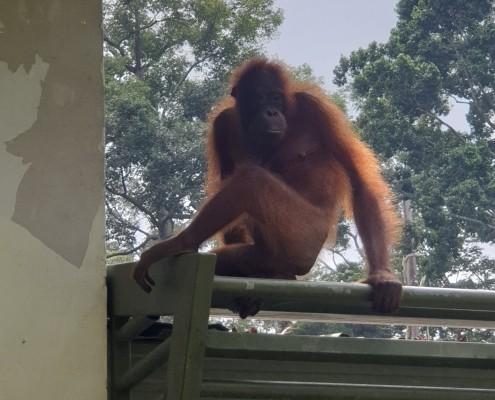 Mami orangutana llegando a la guarderia para ver a su cría