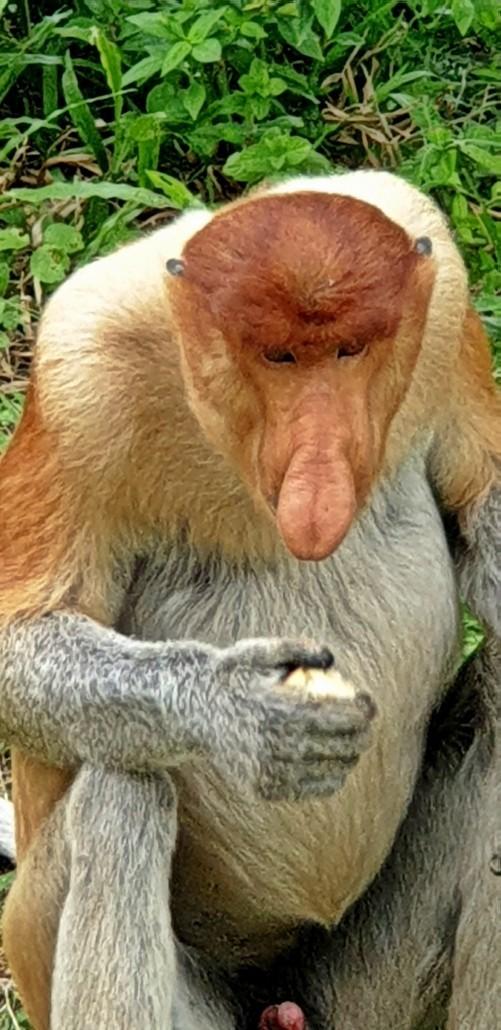 Mono Narigudo o Proboscis en el Proboscis Monkey Sanctuary