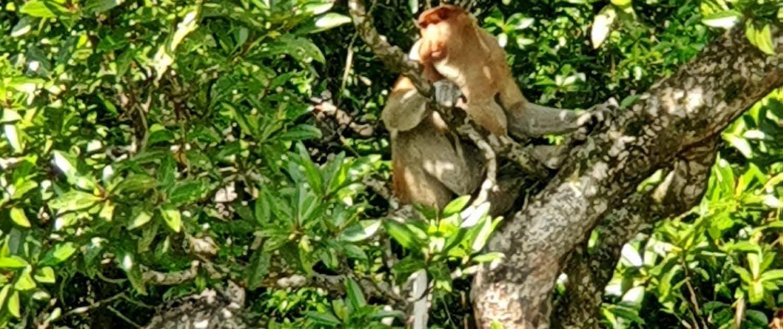 Mono Narigudo o Proboscis de safari por el río Kinabatangan