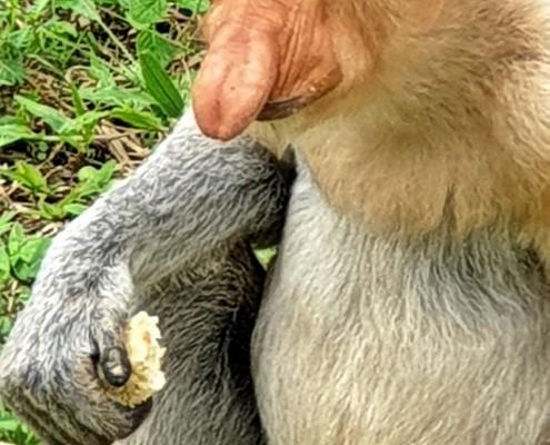 Mono Narigudo o Proboscis en libertad Boneo
