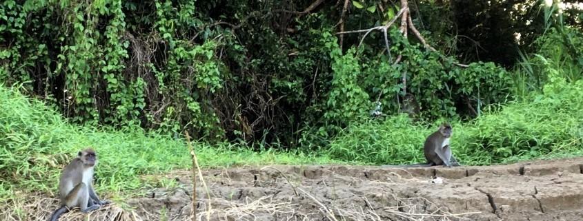 Mono de Makak en el Río Kinabatangan en Borneo, Malasia