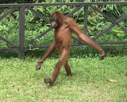 ORANGUTANES EN BORNEO. SEPILOK ORANGUTÁN REHABILITATION CENTER. En esta impactante foto podrás ver la capacidad de los orangutanes de poder andar totalmente erguido y sobre sus dos patas.
