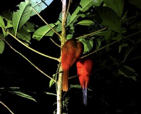 Pajaros tropicales durmiendo durante nuestra excursión nocturna en la selva junto al el Rio Kinabatangan