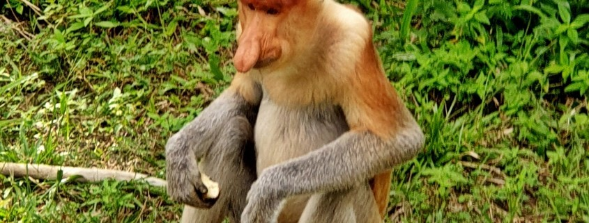Proboscis Monkey Sanctuary, Mono Narigudo o Proboscis